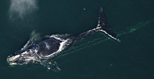 Right whale entangled by rope off Daytona, Florida, Dec. 31, 2011