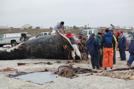 Right whale being autopsied on Butler Beach near St. Augustine, Florida, on Feb. 3, 2011