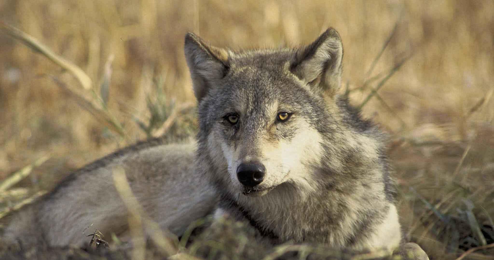 Washington state wolf